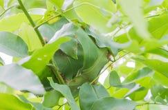 Fire ants nest Stock Image