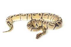 Fire ball python Royalty Free Stock Photo