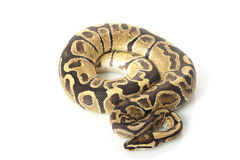 Fire ball python Stock Images