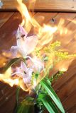 Fire on beautiful Flower royalty free stock image