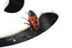 Fire beetle looks Royalty Free Stock Image