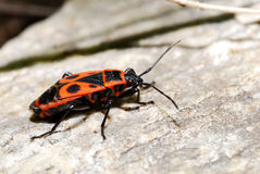 Fire beetle Royalty Free Stock Photos