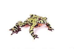 Fire Bellied Frog. Isolated on white background royalty free stock image