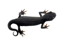 Fire Bellied Newt from above Royalty Free Stock Photo