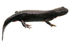 Fire Bellied Newt Profile Royalty Free Stock Image