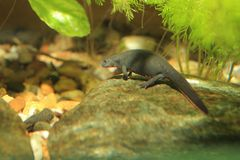 Fire bellied oriental newt. On the rock in water royalty free stock photography