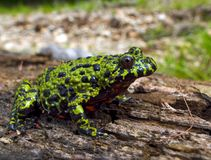 Fire-bellied Toad 2. Close-up of a far-eastern fire-bellied toad (Bombina orientalis) on a old log. Profile. Russian Far East, Primorsky Region Royalty Free Stock Images