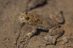 Fire-bellied toad Stock Photography