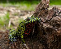 Fire-bellied Toad 4. Close-up of a far-eastern fire-bellied toad (Bombina orientalis) with funny pose on a stump. Russian Far East, Primorsky Region Stock Images