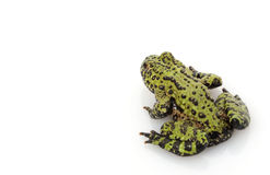 Fire-bellied Toad Royalty Free Stock Image