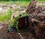 Fire-bellied Toad 8. Close-up of a far-eastern fire-bellied toad (Bombina orientalis) with funny pose on a stump. Russian Far East, Primorsky Region Stock Photos