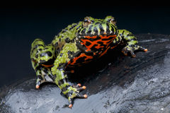 Fire-bellied toad / Bombina orientales Royalty Free Stock Image