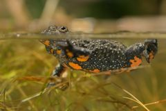 Fire-bellied Toad. Under water in the lagoon stock photography