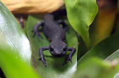 Fire Belly Newt Stock Image