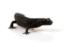 Fire Belly Newt Royalty Free Stock Images