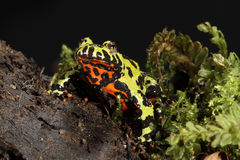 Fire Belly Toad - Bombina orientalis Royalty Free Stock Photography