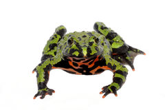 Fire Belly Toad (Bombina orientalis) Stock Photo