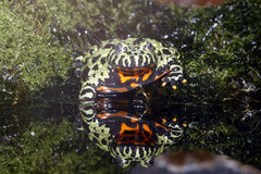 Fire belly Toad with perfect Reflection. Royalty Free Stock Photo