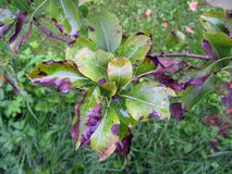 Fire blight on pear tree. Bacterial scorch or fire blight on pear tree Stock Image