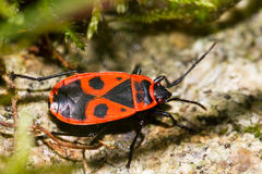 The fire bug Royalty Free Stock Photography