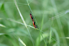 Fire bug copulation Royalty Free Stock Image