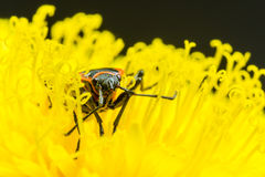 Fire bug on a dandelion flower Royalty Free Stock Images
