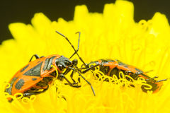 Fire bug on a dandelion flower Royalty Free Stock Image