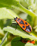 Fire bugs Royalty Free Stock Images