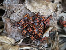 Fire bugs Stock Photo