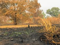 After fire burn forest become arid Royalty Free Stock Photos