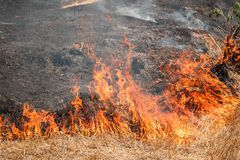 Fire burning dry grass field in Thailand Royalty Free Stock Photo