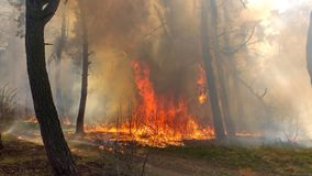 Fire burning in a pine forest Royalty Free Stock Photography