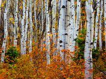 Aspen fire: Autumn in the Uintas. Fire burns under the canopy in the form of autumn. Aspen trees silhouette the landscape and transform the mountains into a royalty free stock image