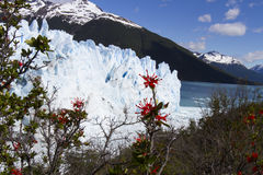 Fire bush at Perito Moreno Glacier, Los Glaciares National Park, Royalty Free Stock Photos