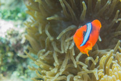 Fire clownfish. Cinnamon clownfish Amphiprion melanopus fire clownfish Royalty Free Stock Images