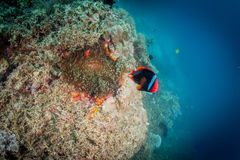 Fire clownfish. Cinnamon clownfish Amphiprion melanopus fire clownfish family angry attack Stock Photography