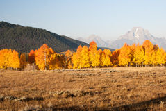 Fire color aspens in Grand Teton Stock Image