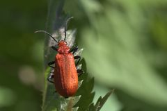 Fire-coloured beetle. Macro view of a vibrant red Cardinal beetle which is one of the fire-coloured beetle stock photo