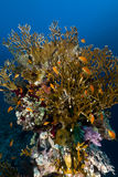 Fire coral and anthias in the Red Sea. Stock Photo