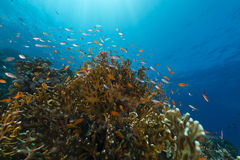 Fire coral and the aquatic life in the Red Sea. Stock Image