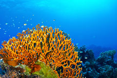 Fire coral. Dichotomy fire coral (Millepora dichotoma) in the Red Sea, Egypt stock photo