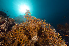 Fire coral and fish in the Red Sea. Stock Photo