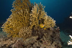 Fire coral, ocean and fish Stock Image