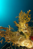 Fire coral  in the Red Sea. Royalty Free Stock Photography