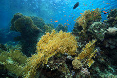 Fire corals in the coral reef Stock Images