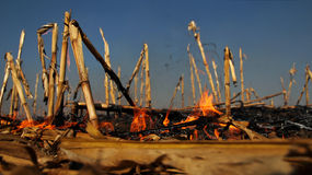 Fire in the Cornfield. Fire burning on the dried cornfield. Selective focus Royalty Free Stock Images