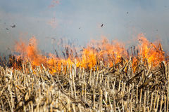 Fire in the Cornfield After Harvest. Royalty Free Stock Photography