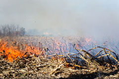 Fire in the Cornfield After Harvest. Royalty Free Stock Image