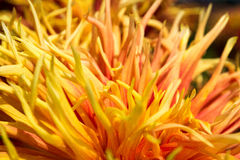 Fire Dahlia. The petals of a yellow and orange Dahlia Stock Photography
