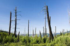 Fire damage & new growth. Forest fire damage & new growth in Glacier National Park Stock Image